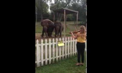 Stúpila pred slony a začala hrať na husliach. Sledujte, čo sa stane.